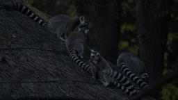 Ring tailed lemurs on the roof eating food Footage