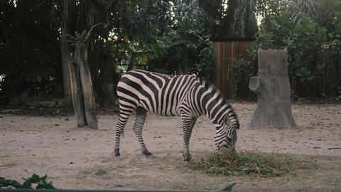 Zebra in zoo. African zebra in zoo eats and shakes her tail in 4k ビデオ