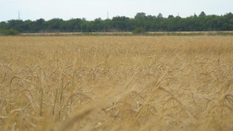 Field with wheat or rye. On the edge of field is worth wood Live Action