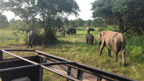 Wild elephants eating grass, Hurulu Eco Park, Sri Lanka Footage