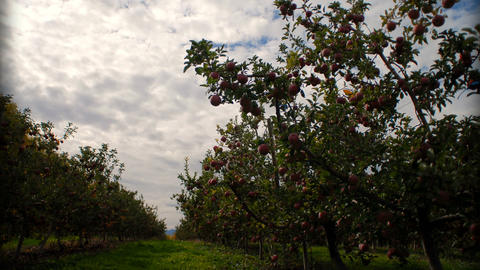 Time-lapse of clouds passing over an apple orchard Footage