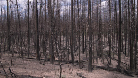 Shot of burned trees in a Yellowstone forest Footage