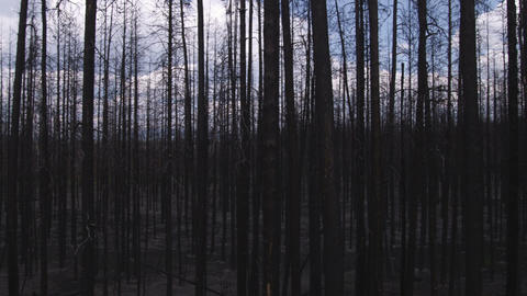 Silhouetted leafless trees in a forest in Yellowstone Footage