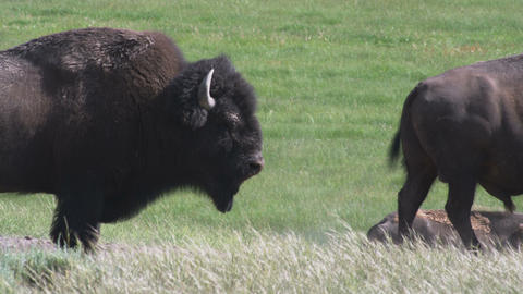 Clip of two buffalo in a grassy field in Yellowstone Footage