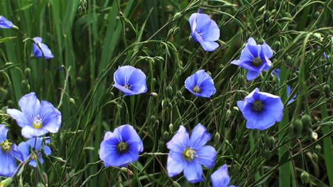 Static shot of blue pansies in Utah Footage