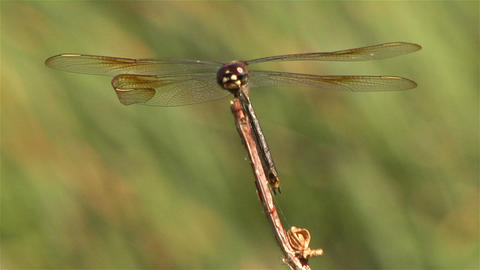 A dragonfly on a branch in a gentle breeze Live Action