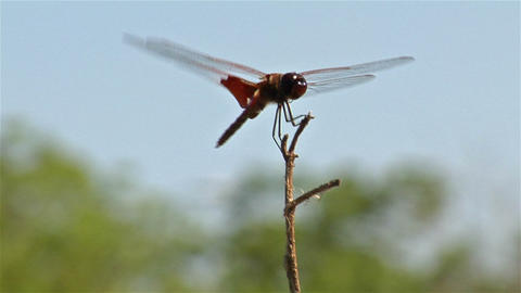 A dragonfly perches on a branch in a gentle breeze Footage