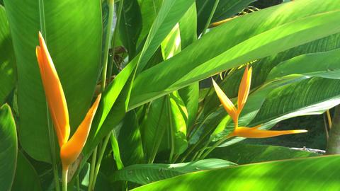 Strelitzia reginae or bird of paradise,is a species of flowering plant Footage