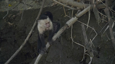 Wild White Faced Monkey in a Costa Rica rainforest Live Action