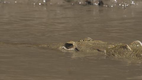 Wild crocodile in a Costa Rica river Live Action