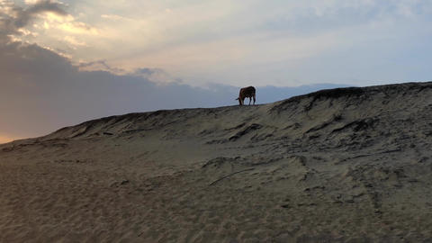The cow walks on the sand dunes at sunset, Yala National Park GIF