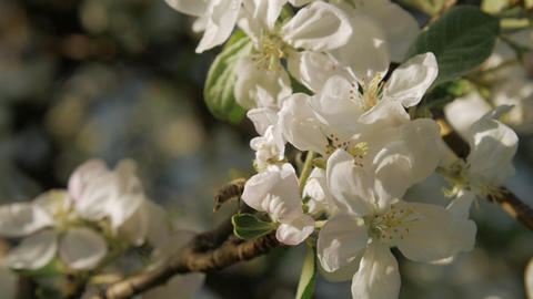 Wild bee on blossoming apple-tree branch. Slow motion GIF