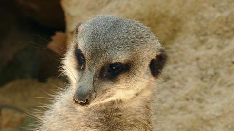 Portrait of vigilant meerkat.(Suricata suricatta) Stock Video Footage