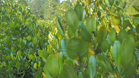 Mangrove forest at the river estuary the conserve sea nature environment Live Action