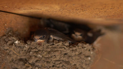A family of birds nests under the roof, birds in the nest Live Action