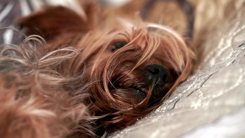 Yorkshire Terrier dog sleeping on bed indoors, close-up Footage