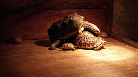 Red-footed Tortoise and indian star tortoise. Turtles Mating Live Action