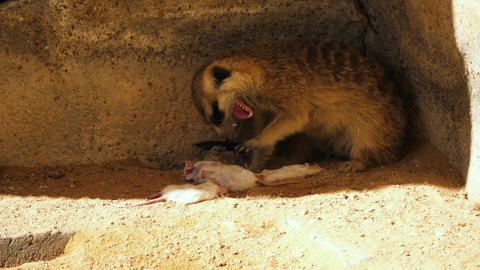 Meerkat eating a mouse Footage