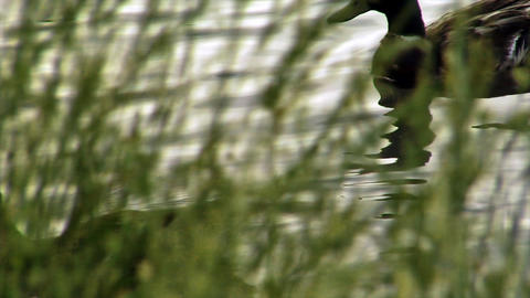 Mallards ducks swim behind water grasses Footage
