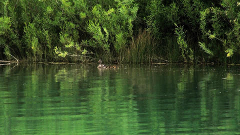 A mother duck swims with her babies across a green lake Footage
