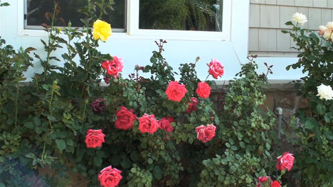 A beautiful group of white, pink, white, and yellow roses Footage