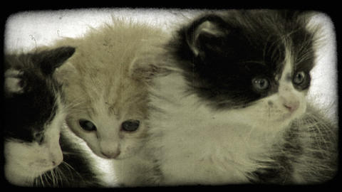 Three kittens together. Vintage stylized video clip Footage