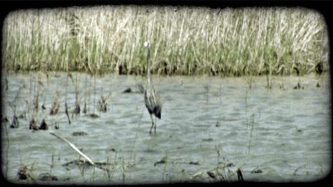 Crane in marsh. Vintage stylized video clip Footage
