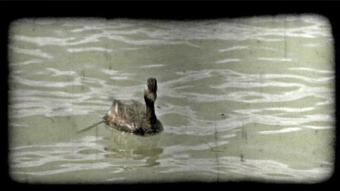Duck dives below water. Vintage stylized video clip Footage