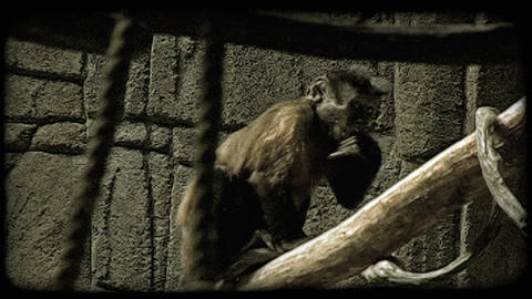 Exotic monkey. Vintage stylized video clip Stock Video Footage