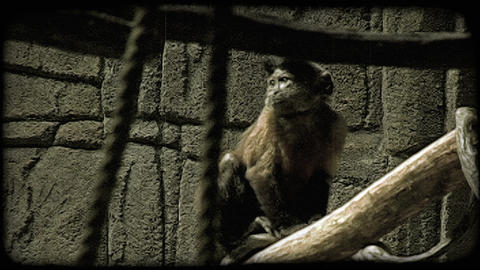 Exotic monkey. Vintage stylized video clip Footage