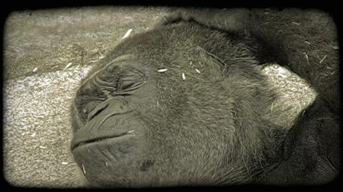 Gorilla rests. Vintage stylized video clip Footage