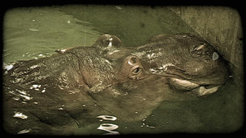 Hippo in water. Vintage stylized video clip Footage