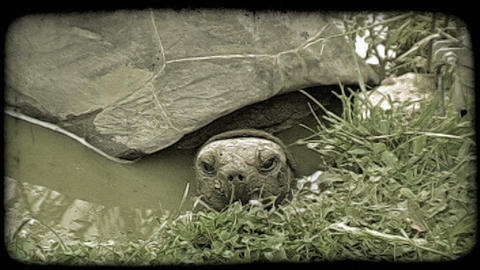 Turtle sits in water. Vintage stylized video clip Footage