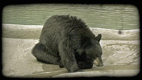 Bear drinks stream 1. Vintage stylized video clip Footage