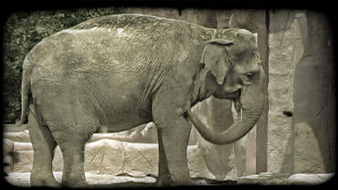 Elephant swings trunk. Vintage stylized video clip Live Action