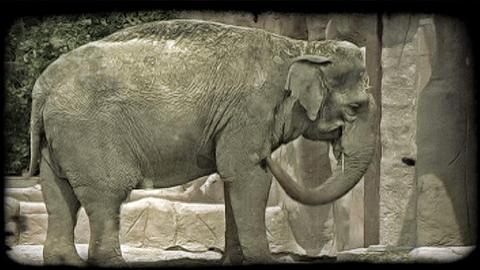 Elephant swings trunk. Vintage stylized video clip Footage