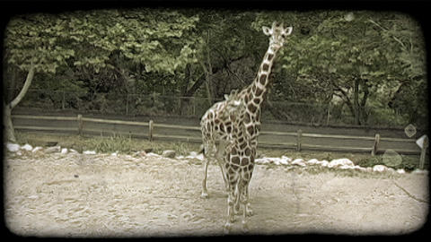 Mother and baby giraffe at zoo. Vintage stylized video clip Live Action