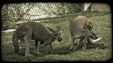 Kangaroos eat grass. Vintage stylized video clip Footage