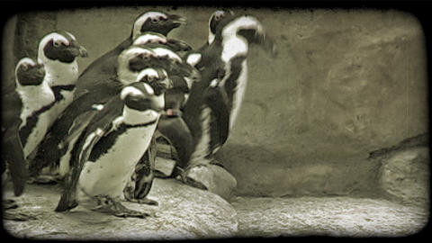 Penguins waddle along walkway. Vintage stylized video clip Live Action