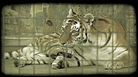 Tiger in cage. Vintage stylized video clip Live Action