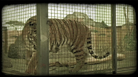 Tiger paces in cage. Vintage stylized video clip Live Action