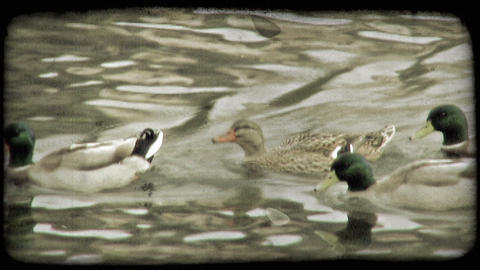 Ducks Paddle 1. Vintage stylized video clip Footage