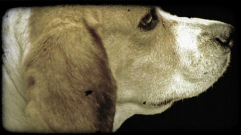 Close-up of calm beige dog. Vintage stylized video clip Footage