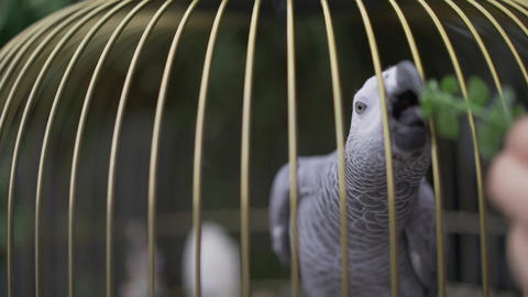grey macaw parrot. Gray parrot in a cage. Feed the parrot in a cage Live Action