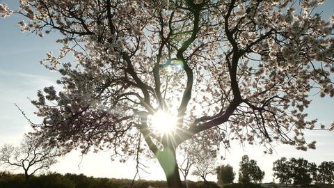 Sun Rays Through Blooming Tree. Tilt Up, 4K Footage