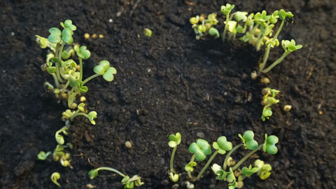 Growing Plants Timelapse Sprouts Germination. Photo frame Footage