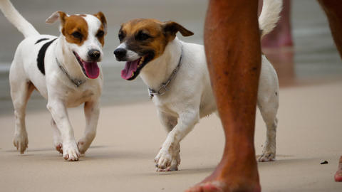 Jack Russell Terrier dogs on the beach ビデオ