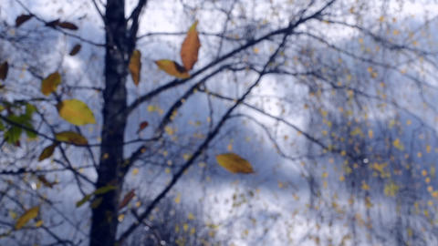 Yellow leaf on branch on background of blue sky dark clouds close-up Footage