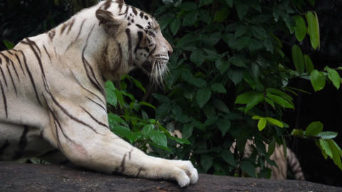 Gorgeous white tiger Live Action