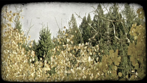 Aspens and pine trees. Vintage stylized video clip Footage
